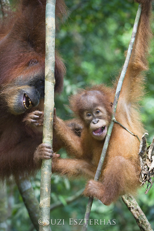 Sumatran Orangutan<br /> Pongo abelii<br /> Mother and 2.5 year old baby playing <br /> North Sumatra, Indonesia<br /> *Critically Endangered