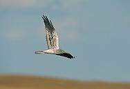 Montagu's Harrier -  Circus pygargus - male
