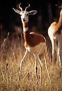 An endangered dama gazelle (Gazella dama). Range: NE to Central Africa including Senegal, Morocco, Chad and Algeria.