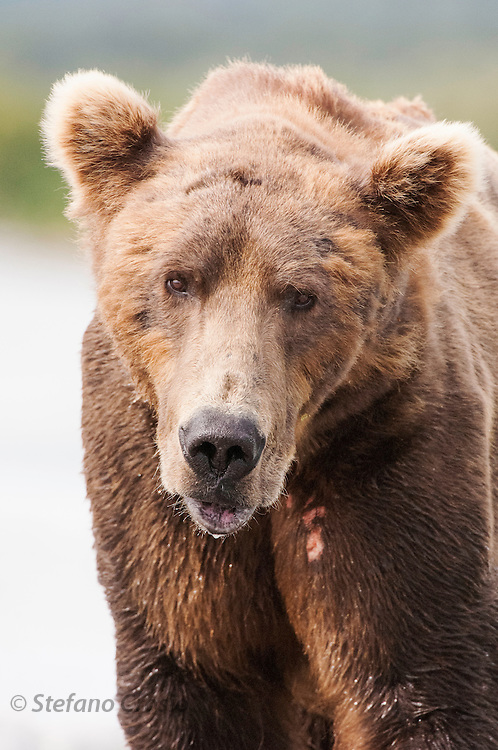 USA, Katmai National Park (AK).Brown bear (Ursus arctos) portrait
