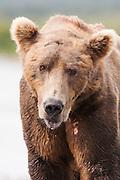 USA, Katmai National Park (AK).Brown bear (Ursus arctos) portrait