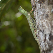 "Draco blanfordii, commonly known as Blanford's flying dragon, Blandford's flying lizard, or Blanford's gliding lizard, is a species of ""flying"" lizard in the family Agamidae. The species is endemic to Asia, and is capable of gliding from tree to tree."