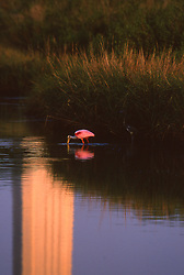 Stock photo of a bird wading and eating in the reflecting pool at the San Jacinto Monument in the Houston Ship Channel