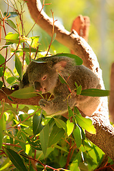 AUSTRALIA QUEENSLAND BILLABONG 23FEB08 - A Koala bear enjoys Eucalyptus at the Billabong Sanctuary...jre/Photo by Jiri Rezac..© Jiri Rezac 2008..Contact: +44 (0) 7050 110 417.Mobile:  +44 (0) 7801 337 683.Office:  +44 (0) 20 8968 9635..Email:   jiri@jirirezac.com..Web:    www.jirirezac.com..© All images Jiri Rezac 2008 - All rights reserved.