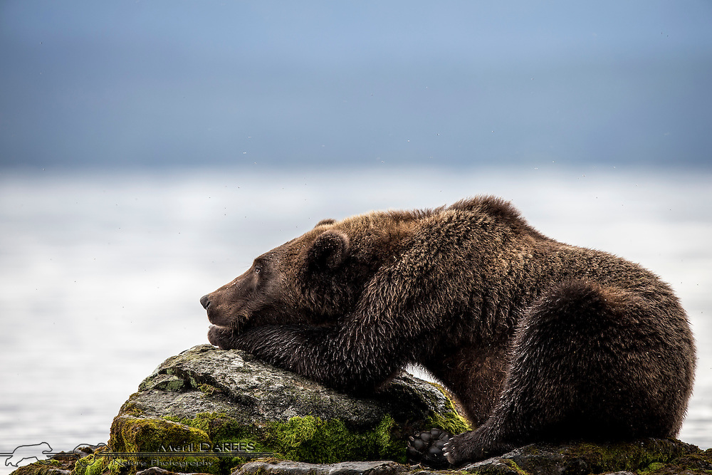 Grizzly bear lost in his thoughts on a rock. Katmai National Park, Alaska, USA.