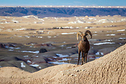 Bighorn ram in South Dakota badlands