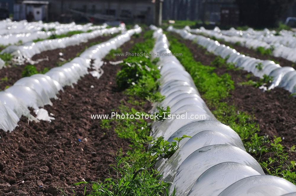 Israel, Jordan Valley, Kibbutz Degania Alef the first kibbutz established 1909. Strawberries grow under protective plastic