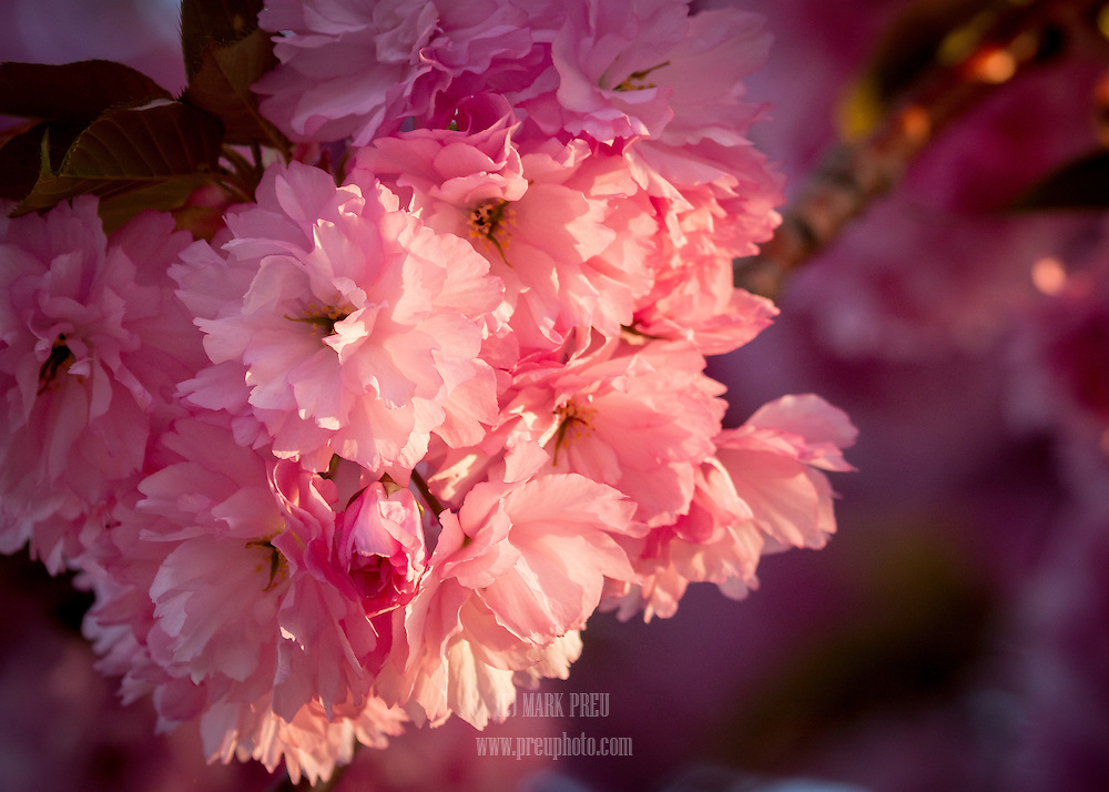 Kwanzan cherry blooms glow with late day golden light.