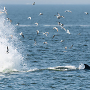 This is an Eden's whale (Balaenoptera edeni edeni) in the Gulf of Thailand herding a mass of fish, likely a species of Sardinella. While swimming in a large circle to aggregate the fish, this whale slapped the surface several times as it moved along, perhaps to concentrate the fish. This tail-slapping behavior took place most often toward the end of the herding process, with a series of slaps often followed by a sudden turn toward the inside of the circle with mouth wide open in order to side-lunge through the panicked fish. This circle and side-lunge technique has become the dominant foraging technique since 2017, replacing the open-mouth trap feeding strategy that had been prevalent since the 1990s. I believe this reflects a change of target prey. The whales adapt their foraging strategies to target species.