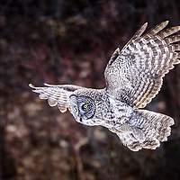 Great Gray Owl, a rare sighting in New Hampshire. An irruptive species, meaning it migrates from Canada into parts of the US during the winter months for a short duration, and then migrates north again, back to its native areas.