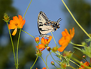Eastern Tiger Swallowtail On An Orange Flower, Papilio glaucus Linnaeus