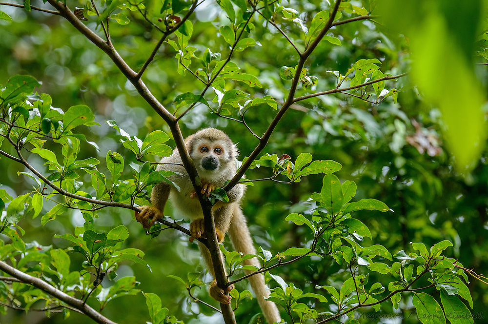 Common Squirrel Monkey [Saimiri sciureus sciureus] foraging in canopy; Yasuni National Park, Ecuador