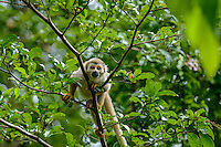 Common Squirrel Monkey [Saimiri sciureus sciureus] foraging in canopy; Yasuni National Park, Ecuador