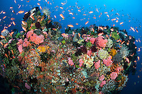 A vibrant and healthy reef with Hard Corals, Crinoids, and Schooling Anthias<br /> <br /> Shot in Indonesia