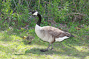 Taking the lead from his father, this little Canada Goose is learning all about foraging for food at Bay Beach Wildlife Sanctuary.