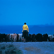 &ldquo;Rainy Day Cowboy&rdquo; <br /> Joe Ed Eckert<br /> Turkey Track Ranch, Texas, 2002<br /> Cattle, book                                                             20 x 30