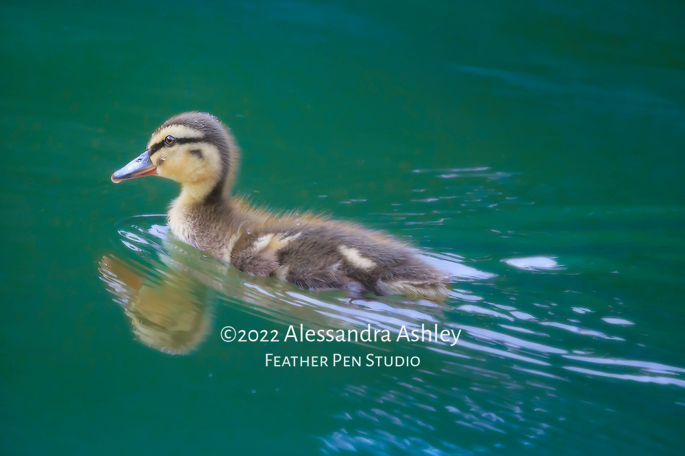 Mallard duckling zipping along while swimming on teal-colored pond, with water droplets, reflection and wake.