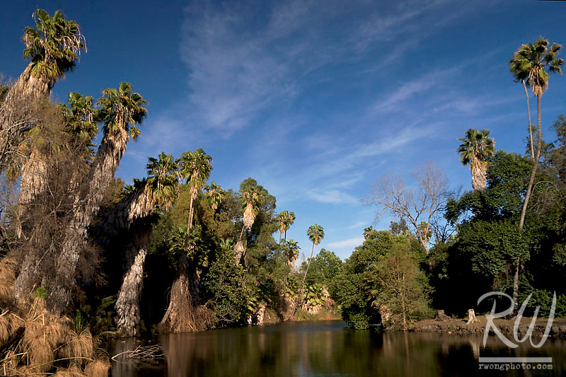 Cypress and Palm Trees in Lagoon at Los Angeles County Arboretum, Arcadia, California