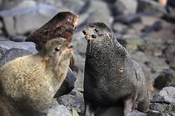USA ALASKA ST PAUL ISLAND 9JUL12 - Male Northern Fur Seals (Callrhinus ursinus) fight at the Reef Point rookery on the island of St. Paul in the Bering Sea, Alaska.....Photo by Jiri Rezac / Greenpeace....© Jiri Rezac / Greenpeace