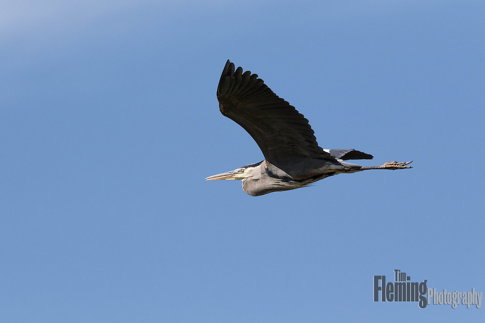 Great blue heron flying above Shollenberger Park, Petaluma, California