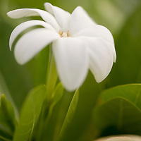 Tiare Tahiti blossom,  Gardenia tahitiensis, French Polynesia national flower