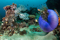 A Magnificent Anemone is &quot;balled up&quot;, leaving its Pink Anemonefish less cover.<br /> <br /> Shot in Indonesia