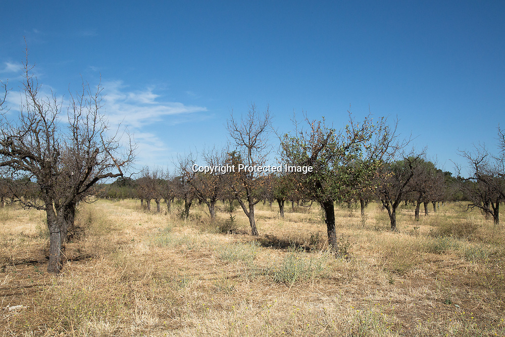 Dead peaches orchard due to the severe drought and lack of water in Dairyville,Tehama County, Northern California.