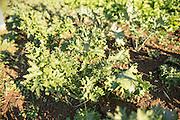 Gulag Stars Kale