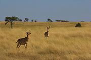 Coke's hartebeest or kongoni, Serengeti National Park, Tanzania.