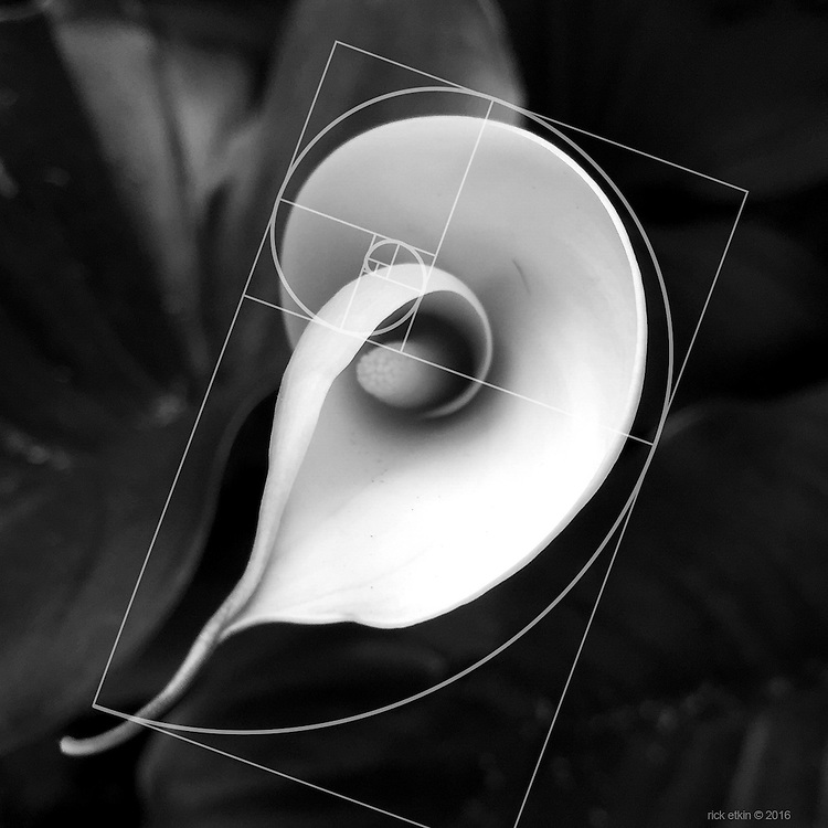 Calla Lily with Golden Circle Formula over-layed to show the perfection of nature<br /> <br /> Plant Life is a black and white photo series exploring the everyday beauty that surrounds us. By focusing on nature's intricate shapes and textures, these captures turn each petal into delicate sculpture.<br /> <br /> Shot on iPhone.<br /> <br /> Prints available by request.