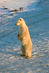 Photo: 20321..Canadas polar bear country around Churchill, Manitoba, at Gordon Point and nearby at Cape Churchill in Wapusk National Park on the south edge of Hudson Bay.  Photos of polar bears males, females, and cubs.  Fauna includes polar bears, arctic hares, and arctic foxes.  Landscapes of the tundra terrain and ice forming on Hudson Bay, plus sunrises and sunsets.  Polar bear viewing in Tundra Buggies while staying at the Tundra Buggy Lodge, operated by Frontiers North.  Photo copyright Lee Foster, 510-549-2202, lee@fostertravel.com, www.fostertravel.com.