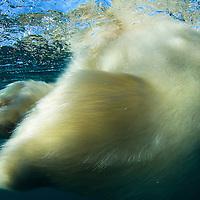 Canada, Nunavut Territory, Underwater view of Polar Bear (Ursus maritimus) swimming in Frozen Strait along Hudson Bay