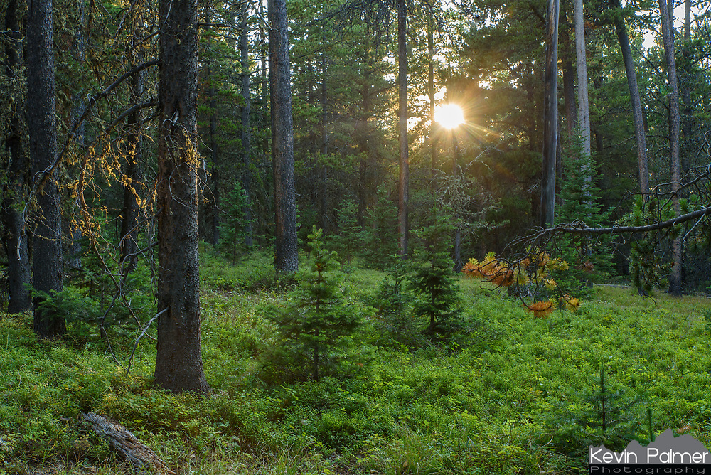 Young saplings grow among the older pine trees near Red Grade Road in the Bighorn Mountains.
