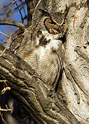 Great Horned Owl (male) in evening near Twin Lakes Open Space, Gunbarrel, Colorado - 2016