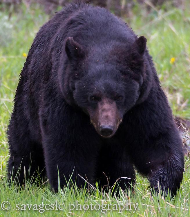 Black bear boar. Yellowstone National Park<br /> May 2013