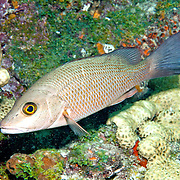Gray Snapper generally inhabit shallow inshore areas including reefs, in Tropical West Atlantic; picture taken Key Largo, FL.