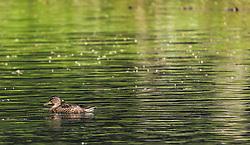 THEMENBILD - eine Stockeente schwimmt in einem Teich, aufgenommen am 21. Mai 2019, Lienz, Österreich // a mallard duck swims in a pond on 2019/05/21, Lienz, Austria. EXPA Pictures © 2019, PhotoCredit: EXPA/ Stefanie Oberhauser
