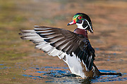 Wood Duck, Aix sponsa, male, Lake County, Ohio