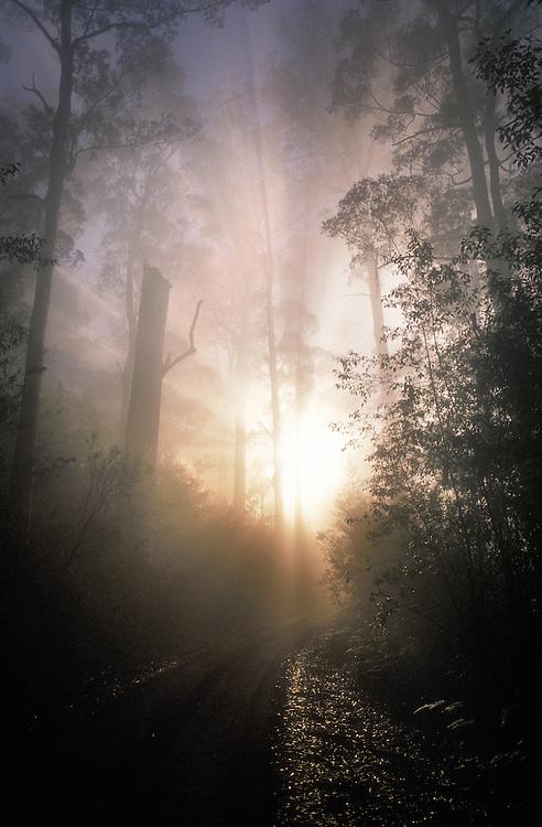 Karri Trees - Karri Valley, Warren National Park Pemberton Western Australia