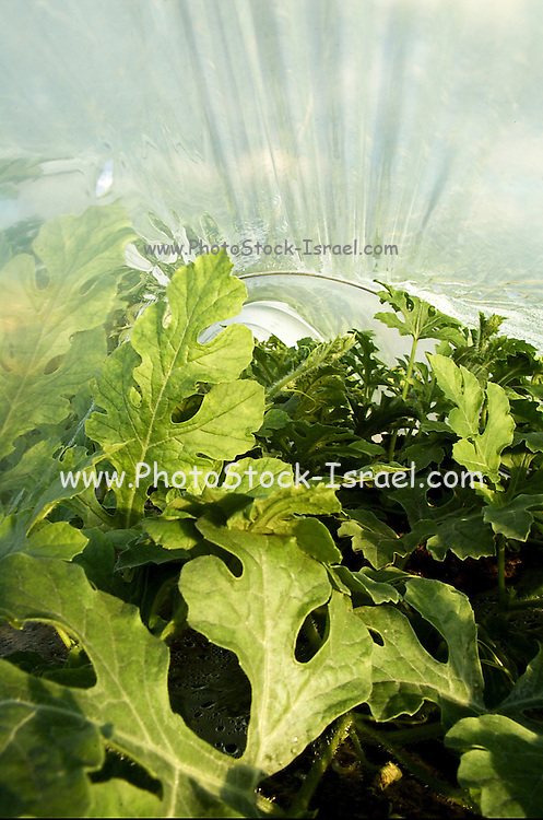 Israel, Jordan Valley, Kibbutz Ashdot Yaacov, Watermelon (Citrullus vulgaris) plants under protective plastic covers
