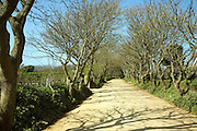 Tree lined avenue of sandy unsurfaced road, Island of Sark, Channel Islands, Great Britain