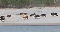 Cows walking along a sandy riverbank, Bardiya National Park, Nepal