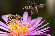 A small sweat bee (halictus ligatus) feeding while another flies nearby, Western Oregon.
