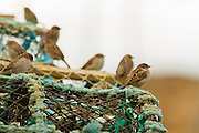 A group of house sparrows perched on lobster pots in a Scottish harbour.