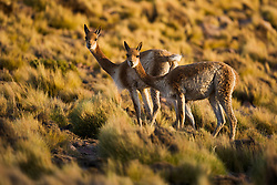 A pair of guanaco (lama guanaco), a camelid native to South America, standing on the altiplano near the El Tatio geyser field,Chilean Andes, Chile,South America