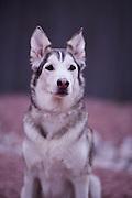 Sandie, Wolf Portrait
