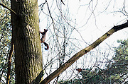 Nederland, Ubbergen, 6-3-2014Een eekhoorn in het bos klimt tegen een boom omhoog.Foto: Flip Franssen/Hollandse Hoogte