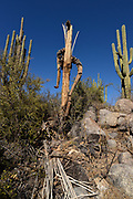 The skeleton or remains of a deceased saguaro cactus, (Carnegiea gigantea), in the foothills of the Santa Catalina Mountains, Sonoran Desert, Catalina, Arizona, USA.