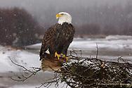 XM083-3348 0305_1407  BALD EAGLE  Chilkat Bald Eagle Preserve, Alaska