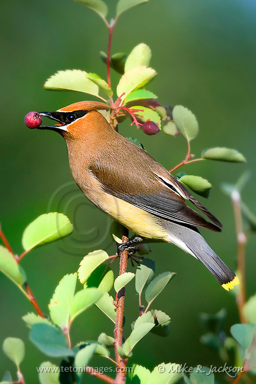 Artistic effects applied to a photograph of a Cedar Wax Wing in mid-summer. The adult bird has a berry in its beak.